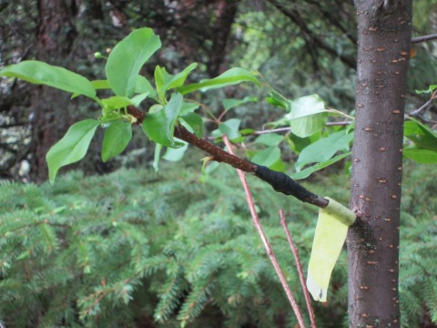 Growing food and other radical acts 350 or bust - Graft plum tree tips ...