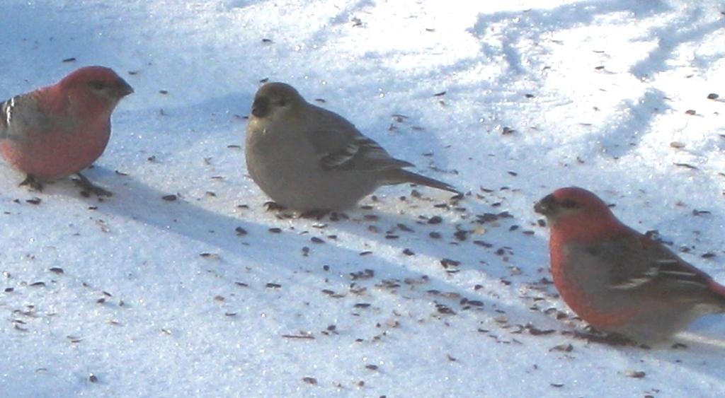 pine grosbeaks.Dec.2011.edited