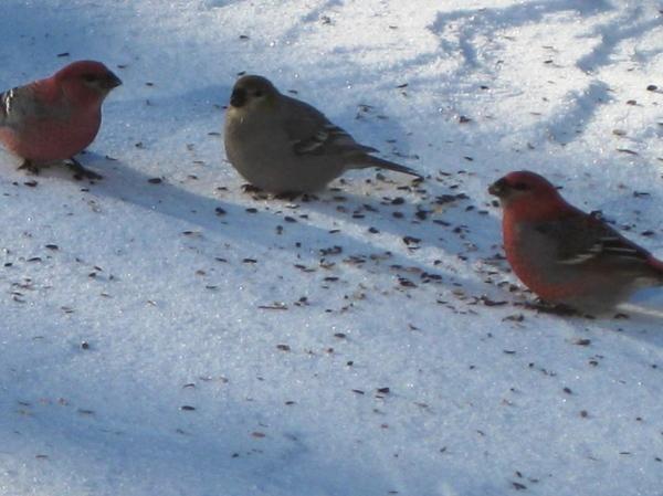 pine grosbeaks around a northern Ontario bird feeder